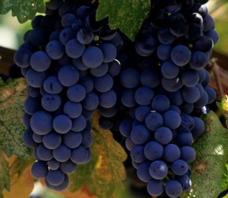 кисти винограда таежный