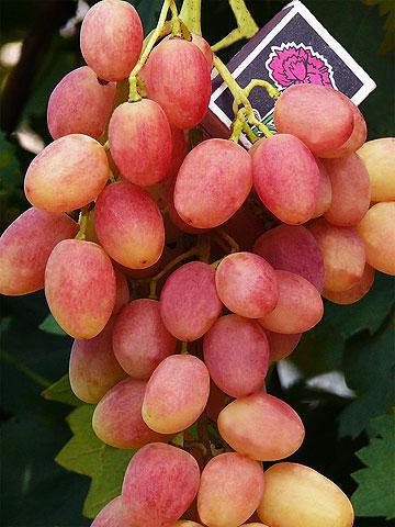 ягоды винограда Анжелика