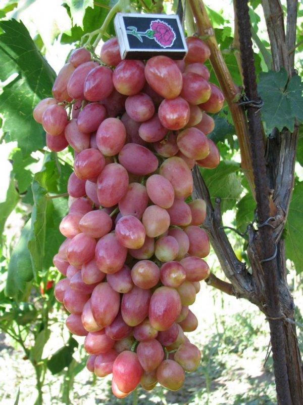 гроздь винограда анжелика