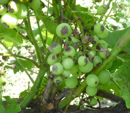 антракноз ягод винограда