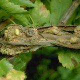 бактериальный рак у винограда