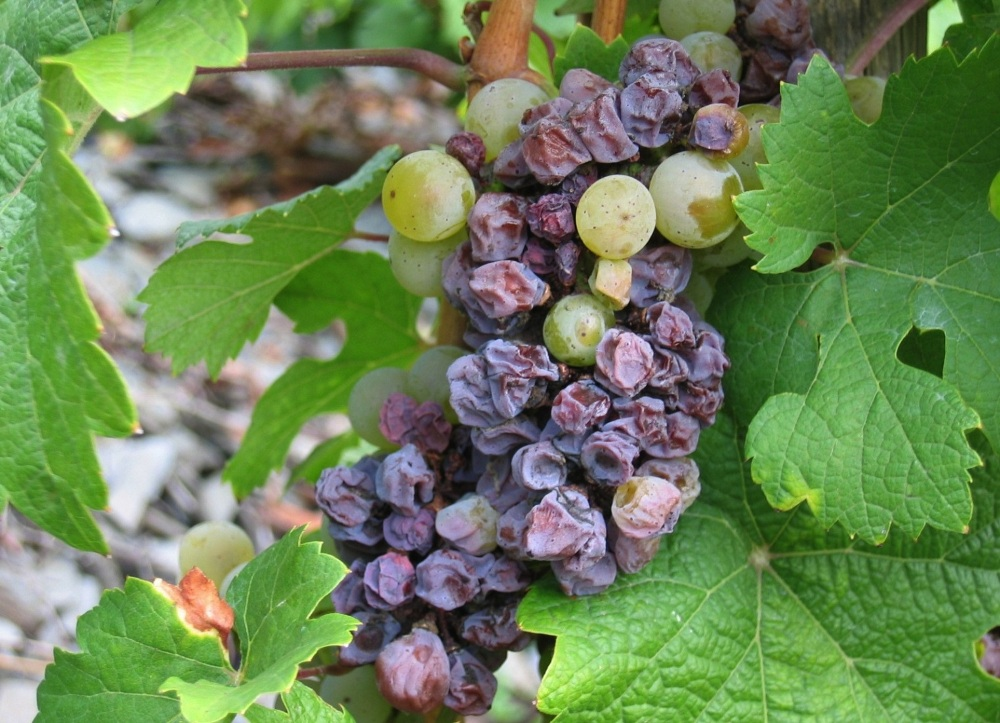 Заболевание винограда
