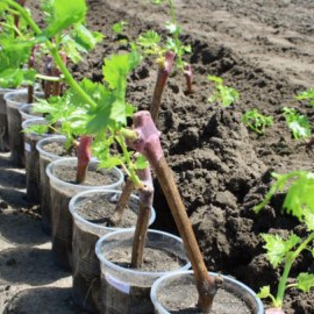 Как вырастить виноград в домашних условиях из семян