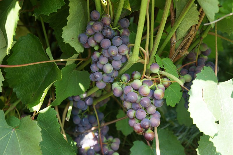 посадка винограда таежный