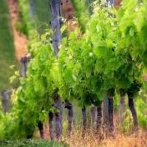 правила посадки винограда