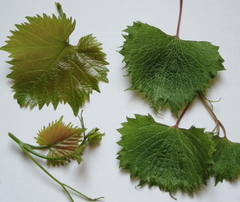 инфекционное вырождение винограда