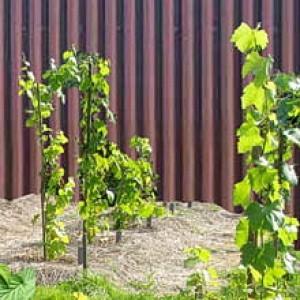 как правильно посадить виноград весной