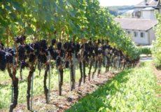 как правильно высаживать виноград