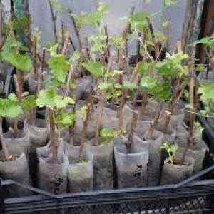 розмножение винограда на участке