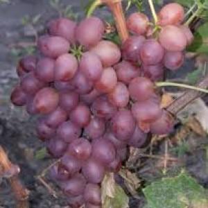 столовые сорта виноград ливия