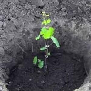 посадка винограда в открытый грунт
