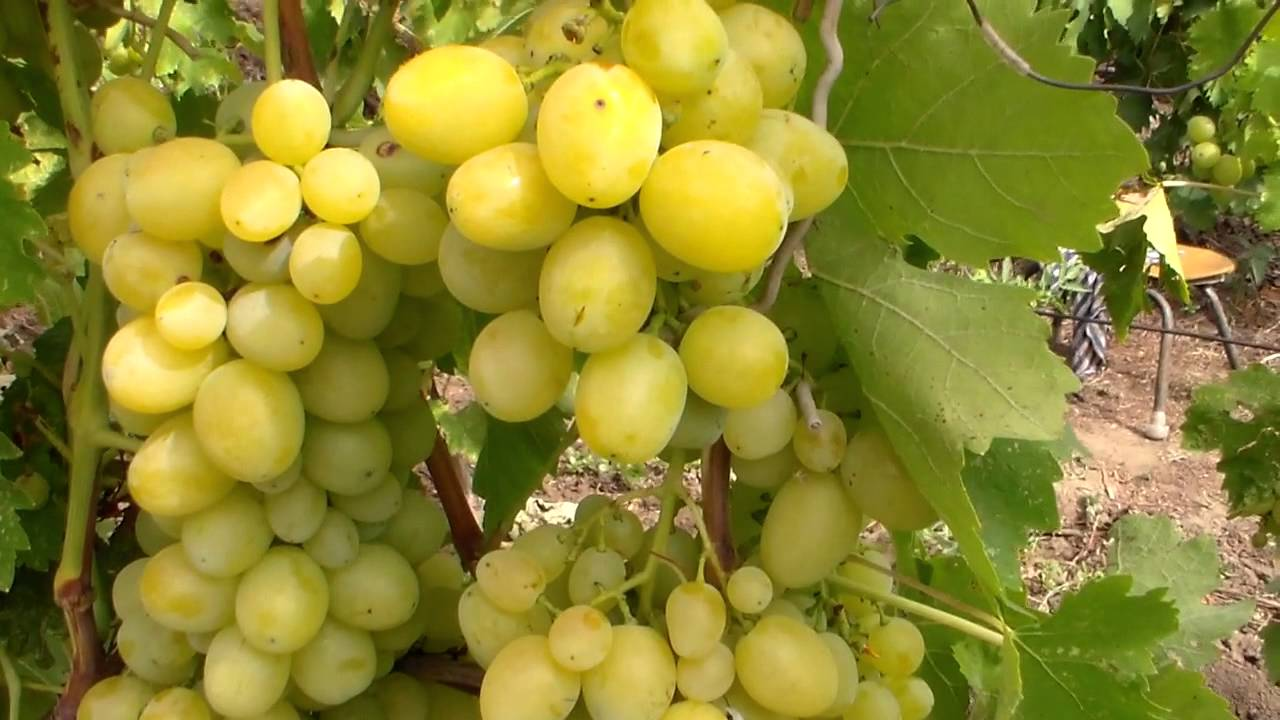 грозди первозванного