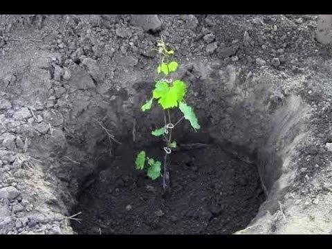 основные методы посадки винограда
