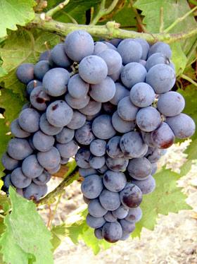 грозди винограда муромец