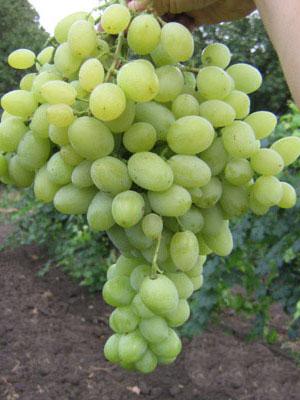 Ягоды винограда Надежный