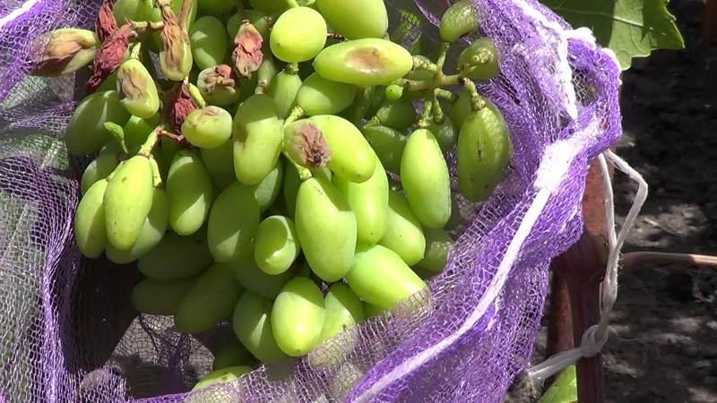 солнечные ожоги винограда