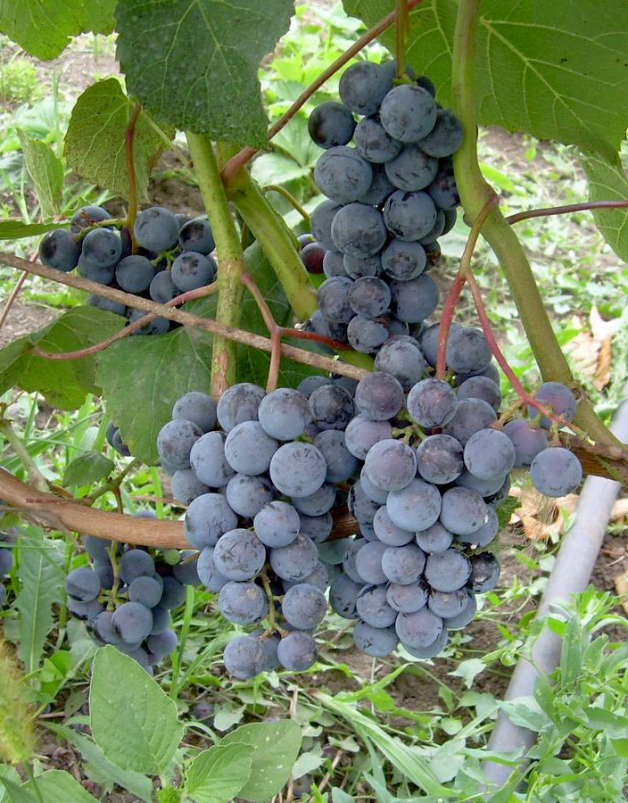 грозди таежного