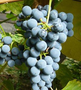ягоды винограда таежный