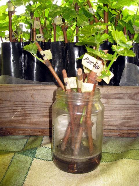 Как вырастить виноград из черенков в домашних условиях