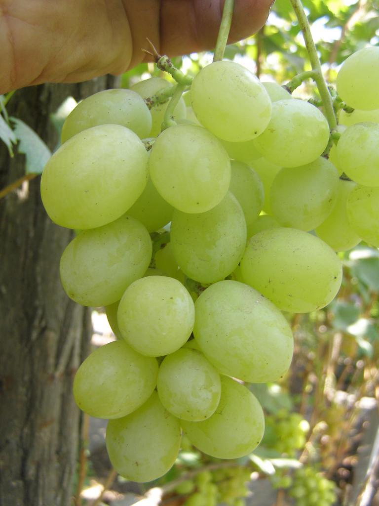 кисть винограда надежный