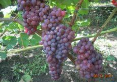 Виноград Красна роза