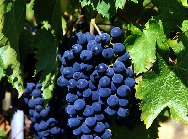 Виноград сорта Санджовезе