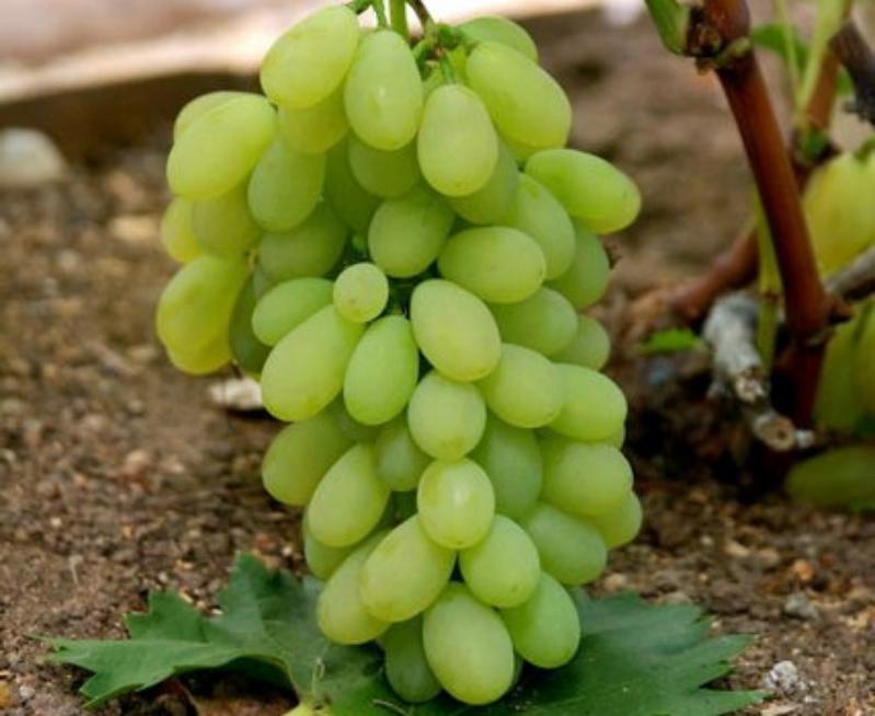 сорта винограда распространены в Украине