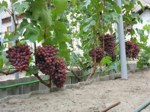 Грозди винограда Красная роза