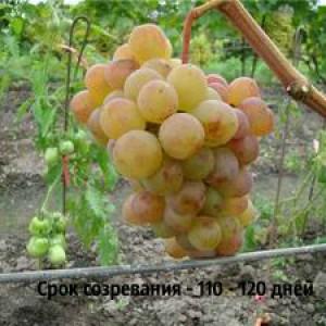 виноград амирхан срок созревания