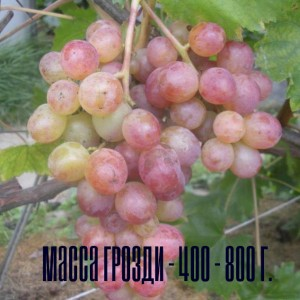 виноград амирхан масса грозди