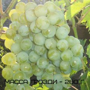 виноград дружба масса грозди
