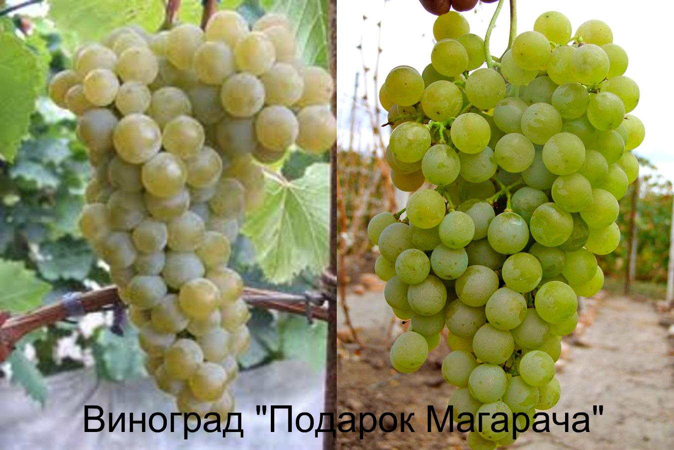 виноград магарача