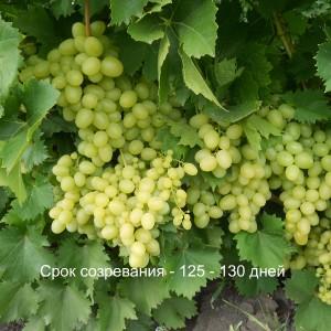 виноград магарача срок созревания