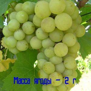виноград магарача масса ягоды