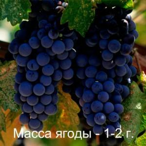 виноград мерло масса ягоды