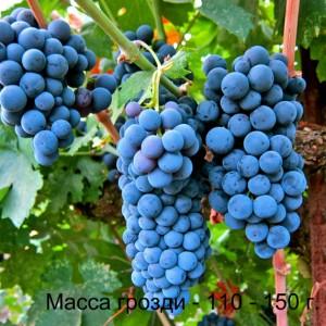 виноград мерло масса грозди