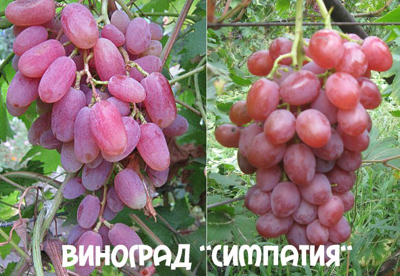 виноград симпатия
