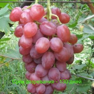 виноград симпатия срок созревания