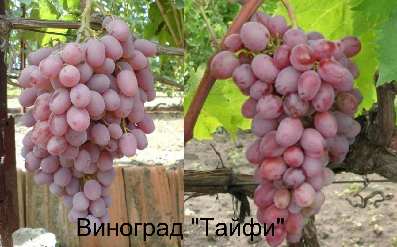 виноград таифи