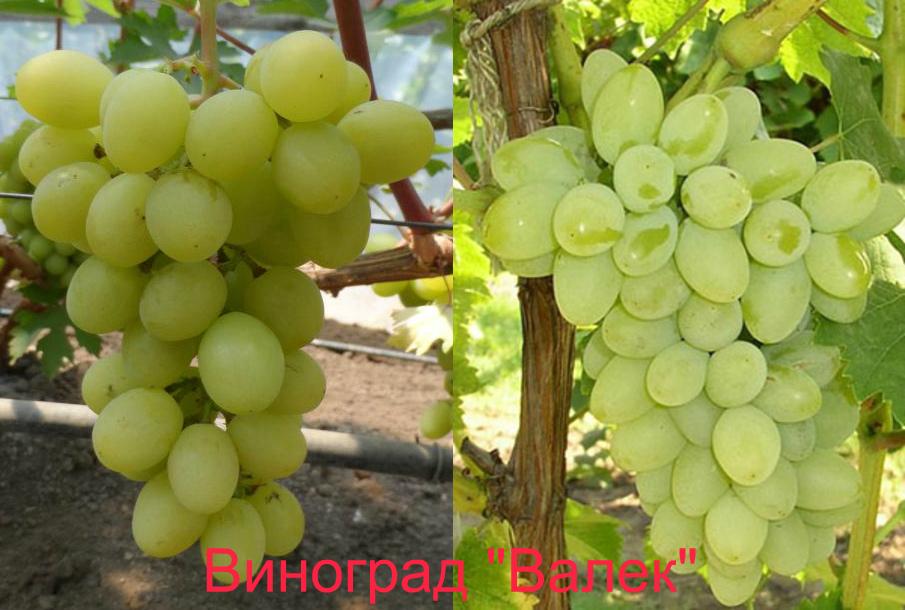 украинский виноград Валек