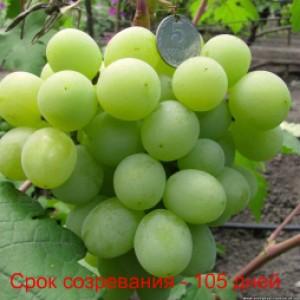 виноград Валек срок созревания