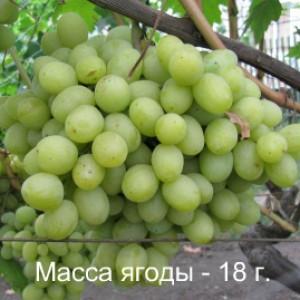 виноград Валек масса ягоды