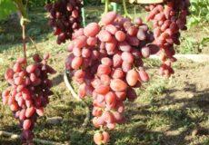 27. виноград аметист новочеркасский