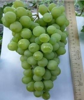 ягоды винограда Эдна