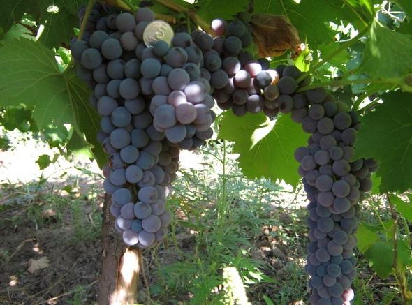 Грозди винограда Фортуна