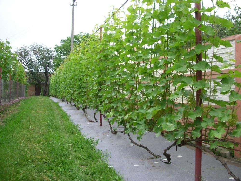 способ высадить виноград