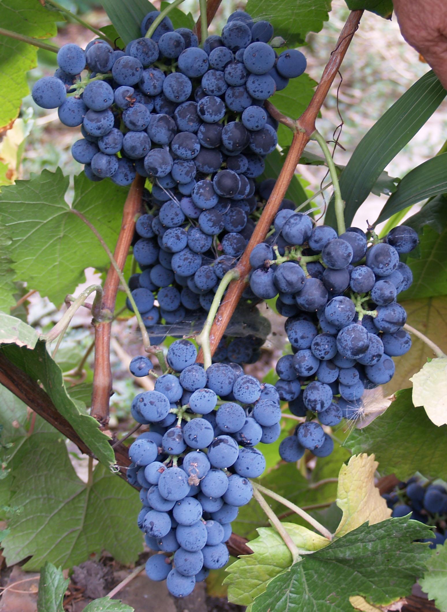 грозди винограда Денисовский