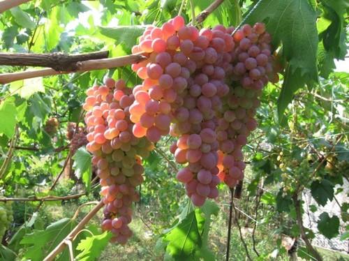 грозди винограда мечта