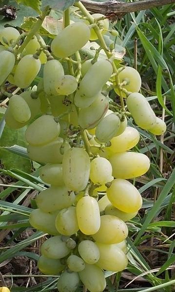 ягоды винограда Миллениум