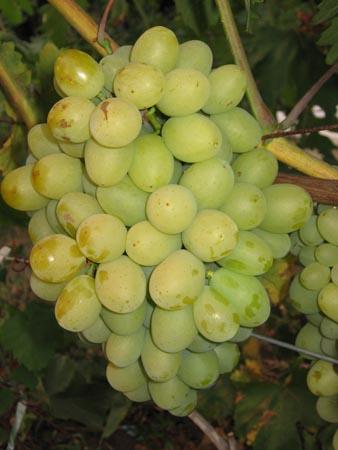 гроздь винограда Пульсар